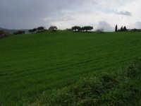 Grano. Marzo 2004  - Bolognetta (3801 clic)