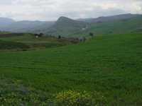 Grano. Marzo 2004. Nello sfondo le colline di Bolognetta  - Godrano (6568 clic)