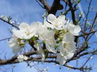 Albero di susine in fiore. marzo 2004  - Bolognetta (5170 clic)