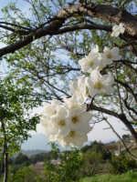 Albero di susine in fiore. marzo 2004  - Bolognetta (4121 clic)