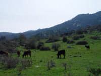 Mucche al pascolo.    - Godrano (6684 clic)