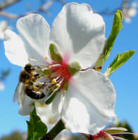 Un'ape al lavoro  - Bolognetta (2854 clic)