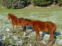 Cavalli tra il nevischio PIANA DEGLI ALBANESI GABRIELE MILONE