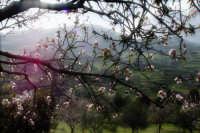 Mandorlo in fiore  - Bolognetta (2664 clic)