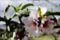 Mandorlo in fiore  - Bolognetta (2574 clic)