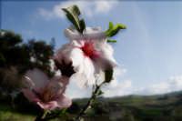 Mandorlo in fiore  - Bolognetta (2438 clic)