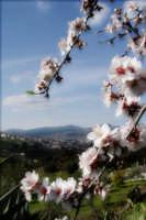 Mandorlo in fiore  - Bolognetta (3454 clic)