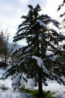 Abete carico di neve  - Ficuzza (6491 clic)