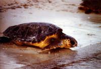 31 agosto 2005. Liberazione delle tartarughe caretta caretta (Cala Madonna). Immagini scattate con la collaborazione di Bertoncini  - Lampedusa (1477 clic)