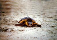 31 agosto 2005. Liberazione delle tartarughe caretta caretta (Cala Madonna). Immagini scattate con la collaborazione di Bertoncini  - Lampedusa (1384 clic)