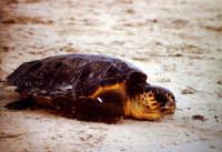 31 agosto 2005. Liberazione delle tartarughe caretta caretta (Cala Madonna). Immagini scattate con la collaborazione di Bertoncini  - Lampedusa (1619 clic)
