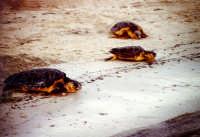 31 agosto 2005. Liberazione delle tartarughe caretta caretta (Cala Madonna). Immagini scattate con la collaborazione di Bertoncini  - Lampedusa (2108 clic)