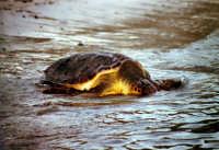 31 agosto 2005. Liberazione delle tartarughe caretta caretta (Cala Madonna). Immagini scattate con la collaborazione di Bertoncini  - Lampedusa (2330 clic)