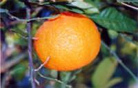 Arancia  - Agnone bagni (6953 clic)