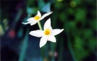 Fiori  - Agnone bagni (4996 clic)