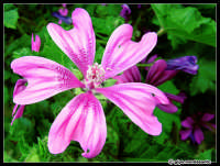 Close-up - Malva...  - Piazza armerina (3200 clic)