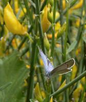 Close-up - Farfalla sulle ginestre  - Etna (4192 clic)