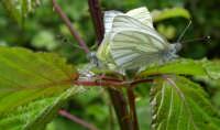 Close-up - Farfalle in accoppiamento presso il Vallone S.Giacomo.  - Zafferana etnea (4734 clic)