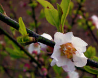Close-up - Rosacea in fiore  - Pantelleria (4588 clic)