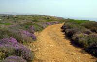 Timo fiorito sulla strada verso Calamosche  - Vendicari (10330 clic)