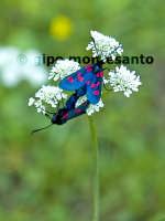 Fauna dei Nebrodi - Zigena in accoppiamento  - Nebrodi (3588 clic)