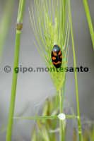 Fauna dell'Etna - Sputacchina (Insetti, Omotteri)  - Etna (6771 clic)