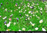 Prato fiorito nei pressi di Ragusa Ibla  - Ragusa (1867 clic)