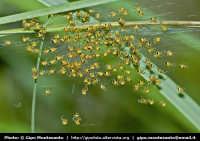Piccoli ragni appena nati da una schiusa di uova. Sentiero di Monte Zoccolaro  - Etna (6666 clic)