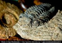 Trilobite del genere Phacops. Collezione di Paleontologia  - Catania (3915 clic)