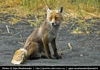 Una volpe nei pressi di Piano del Vescovo.  - Etna (6402 clic)