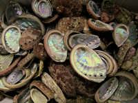 Close up - Conchiglie di Haliotis tuberculata L. 1758 (i comuni Occhi di Bue)   - Catania (19310 clic)