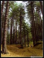 Scouting - Etna. Pineta Ragabo, Linguaglossa (CT)  - Etna (12232 clic)