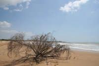 Albero abbattuto dal vento sulla spiaggia di Sampieri  - Sampieri (5877 clic)