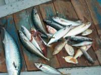 Piccola pesca detta trimaglio  - Marina di cottone (2793 clic)