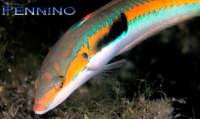 Donzella pesce tipico di questi fondali  - Marina di cottone (6410 clic)