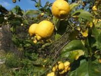 Limone frutto tipico di queste zone  - Fiumefreddo di sicilia (3850 clic)