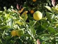 Limone  - Fiumefreddo di sicilia (2253 clic)