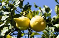 Limone  - Fiumefreddo di sicilia (2258 clic)