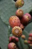 Fico d'india frutto tipico Siciliano  - Fiumefreddo di sicilia (3920 clic)