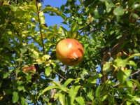 Melograno frutto tipico Siciliano  - Fiumefreddo di sicilia (6821 clic)