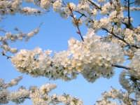 Mandorlo in fiore  - Fiumefreddo di sicilia (7140 clic)