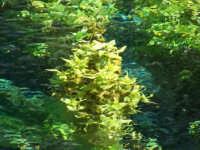 Riserva naturale fiumefreddo  crescionevegetazione spontanea Che cresce nel fiume della riserva naturale di Fiumefreddo  - Fiumefreddo di sicilia (5069 clic)