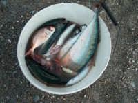 Fiumefreddo di Sicilia pesci mediterraneo  - Marina di cottone (2661 clic)