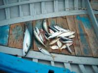 Fiumefreddo di Sicilia pesci mediterraneo  - Marina di cottone (2305 clic)