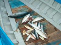 Fiumefreddo di Sicilia pesci mediterraneo  - Marina di cottone (5265 clic)
