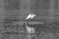 Uccello acquatico del lago di Ganzirri  - Messina (3700 clic)