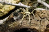 Hogna radiata fotografata in terrario...si tratta di un esemplare femmina con addome pieno di piccoli  - Messina (3201 clic)
