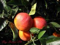 arance rosse sono la nostra specialita   - Biancavilla (3191 clic)