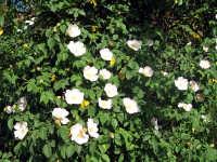 rosa canina II  - Randazzo (3775 clic)