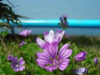 fiore di Malva sylvestris   - Sferracavallo (2980 clic)